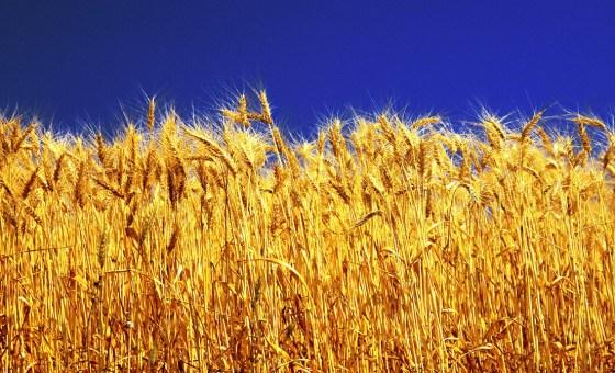 La facture  des importions céréalières  de l'Algérie réduite de 4,56 %