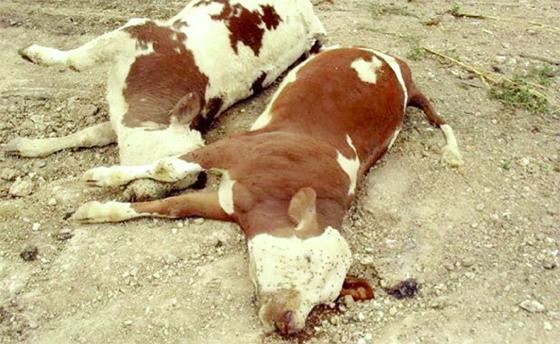 Fièvre aphteuse : Le lancement officiel des procédures d'indemnisation des éleveurs débutera la semaine prochaine