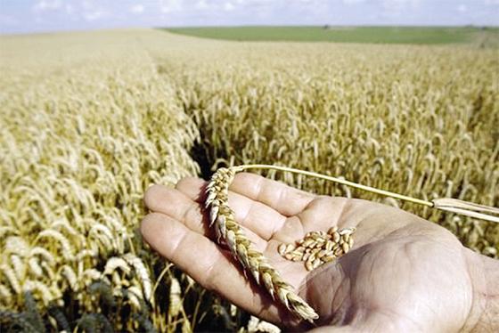 L'Algérie achète 550 000 tonnes de blé européen