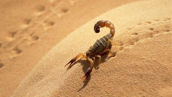 227 cas de piqures de scorpion enregistrés depuis janvier à El-Bayadh