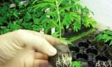 Un cordonnier et son voisin arrêtés pour transplantation de cannabis