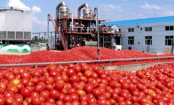 Tomate industrielle à Annaba : 1,2 million de quintaux seront produits en 2021
