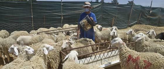 Le cheptel ovin couvre la demande nationale