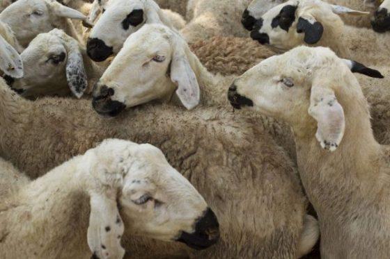 Aid El Adha: baisse considérable des ventes de moutons cette année