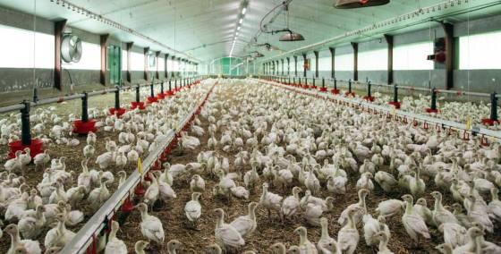 Les raisons de la flambée du prix du poulet