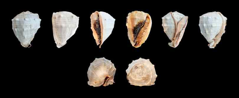 conch shells for cameos