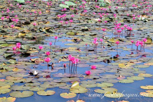 Angkor Wat Lily Pond