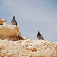 Haifa U. Reveals Role of Pigeons in Turning the Negev Green 1,500 Years Ago