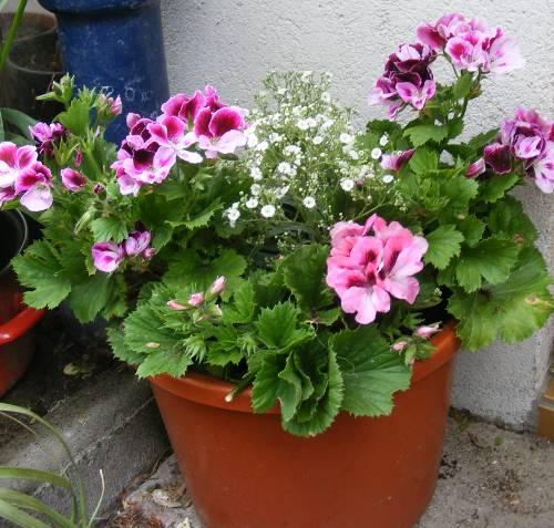 EdelpelargonieEdelgeranie Pelargonium grandiflorum Hybride  jKs Pflanzenblog