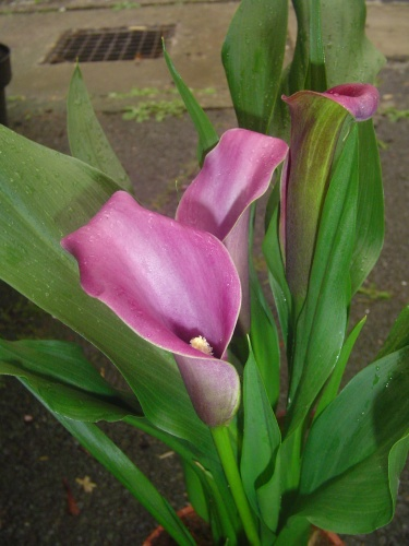 Calla Zantedeschia  jKs Pflanzenblog