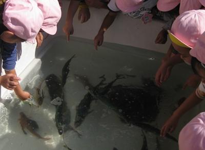 平塚漁港でお魚タッチングプール
