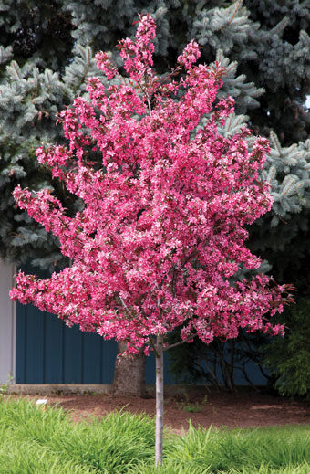 Image result for royal raindrop crabapple tree