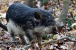Wildes Schwein, Naturpark DIE WÜSTE Mannersdorf