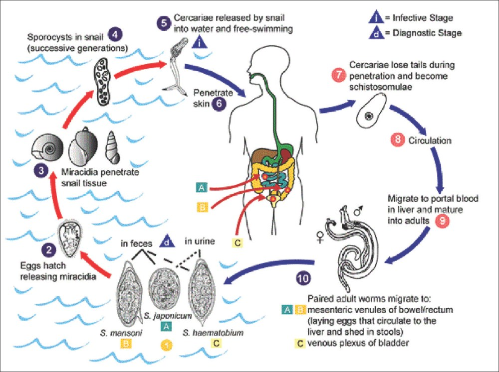 medium resolution of figure 2 transmission cycle of schistosomiasis courtesy cdc 2016 https www cdc gov dpdx schistosomiasis index html