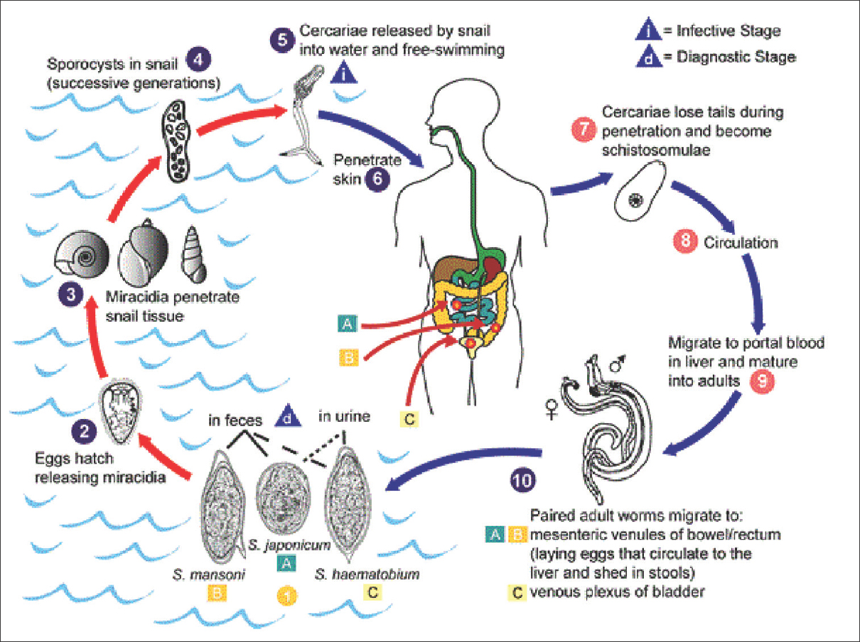 hight resolution of figure 2 transmission cycle of schistosomiasis courtesy cdc 2016 https www cdc gov dpdx schistosomiasis index html