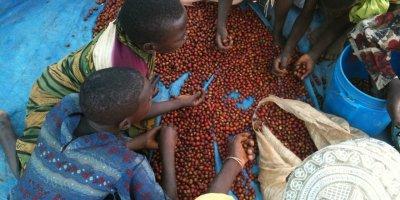 increased coffee production Kilimanjaro