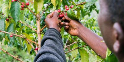 Lyamungo coffee society