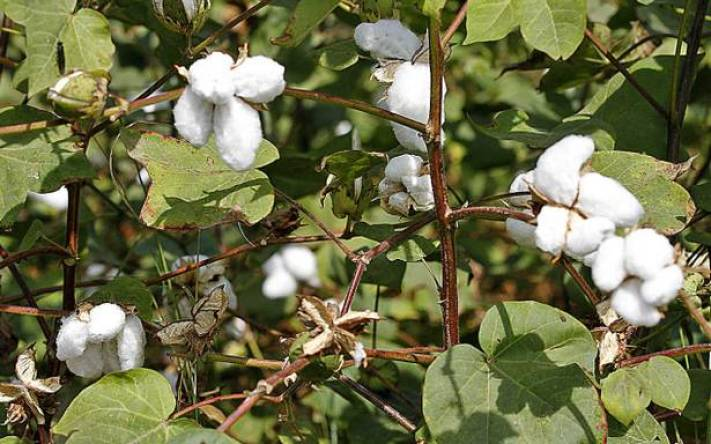 Cotton productions in Tanzania