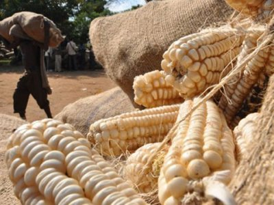 Clean maize before processing to avoid health risks
