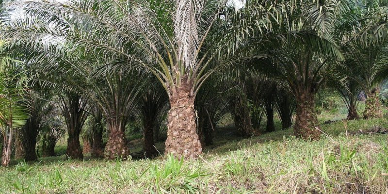 Palm oil cultivation