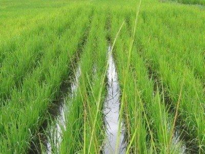 rice farming in Zanzibar