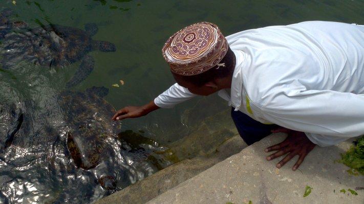 Sea turtles at Nungwi Zanzibar