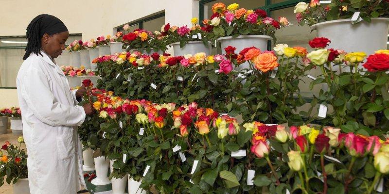 Valentine's Day flower supply