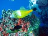 santarosa_yellowfish