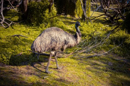 Emu im Tower Hill National Park