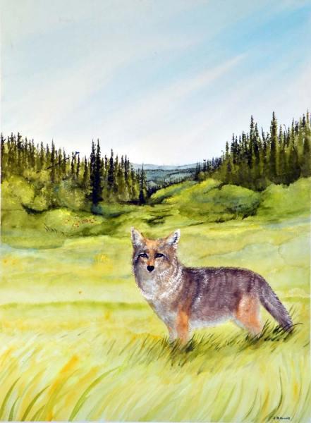 Summer Coyote