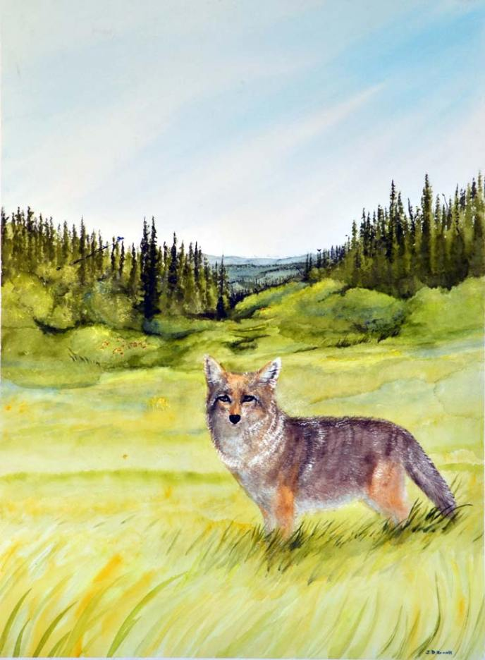 A coyote looks back at us from a summer hunt: painting