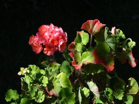 Geranium Photo