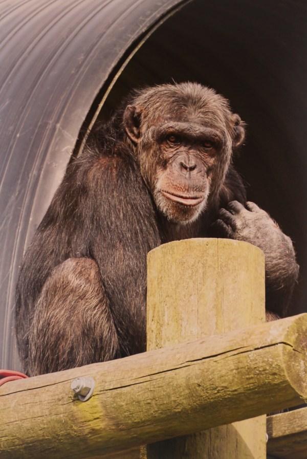 Chimpanzee Prints - Jim Cronin Memorial Fund