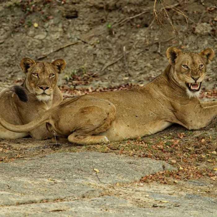 Africa : Kafue Big Cats