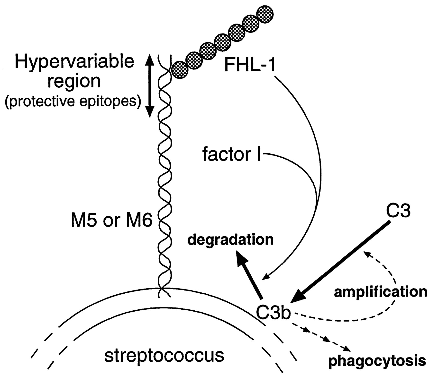 Role Of The Hypervariable Region In Streptococcal M Proteins Binding Of A Human Complement