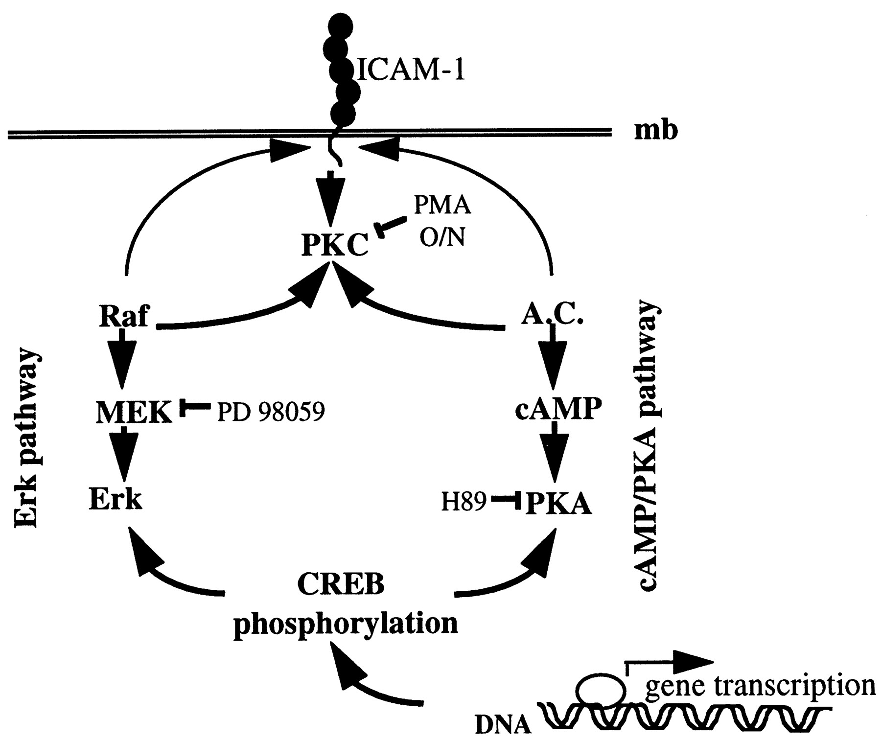 ICAM-1-Coupled Signaling Pathways in Astrocytes Converge
