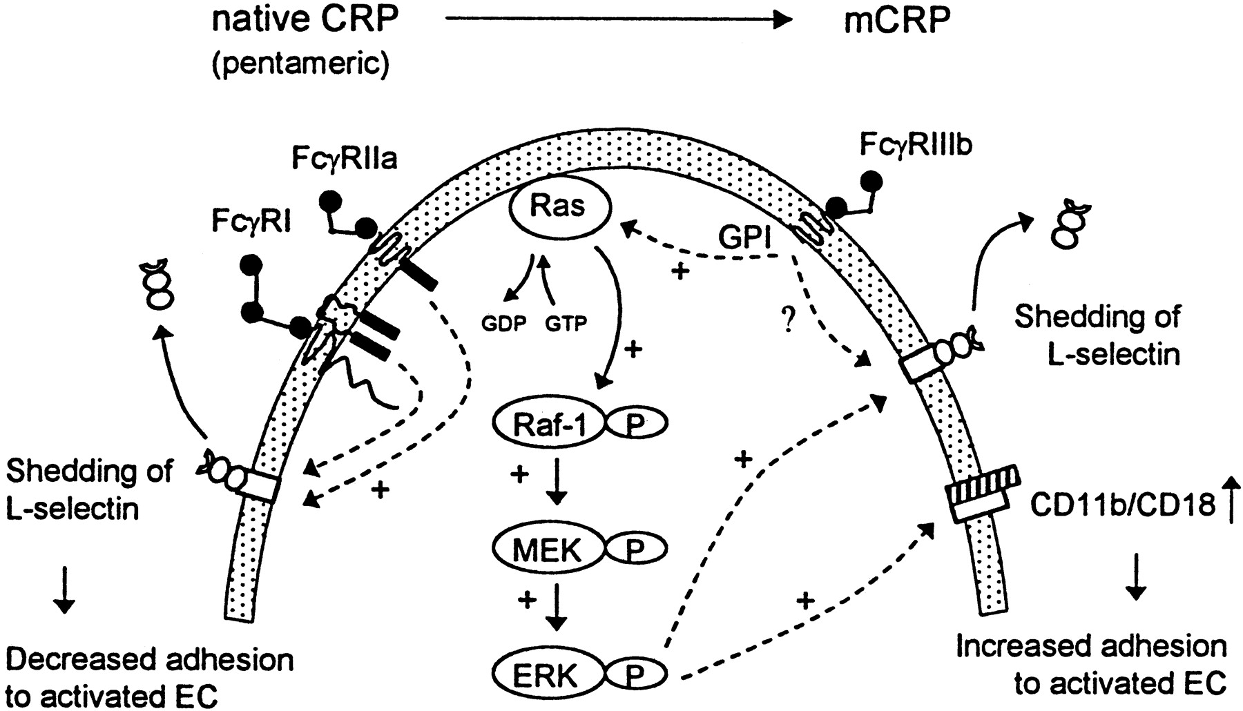Loss Of Pentameric Symmetry Of C Reactive Protein Is Associated With Promotion Of Neutrophil