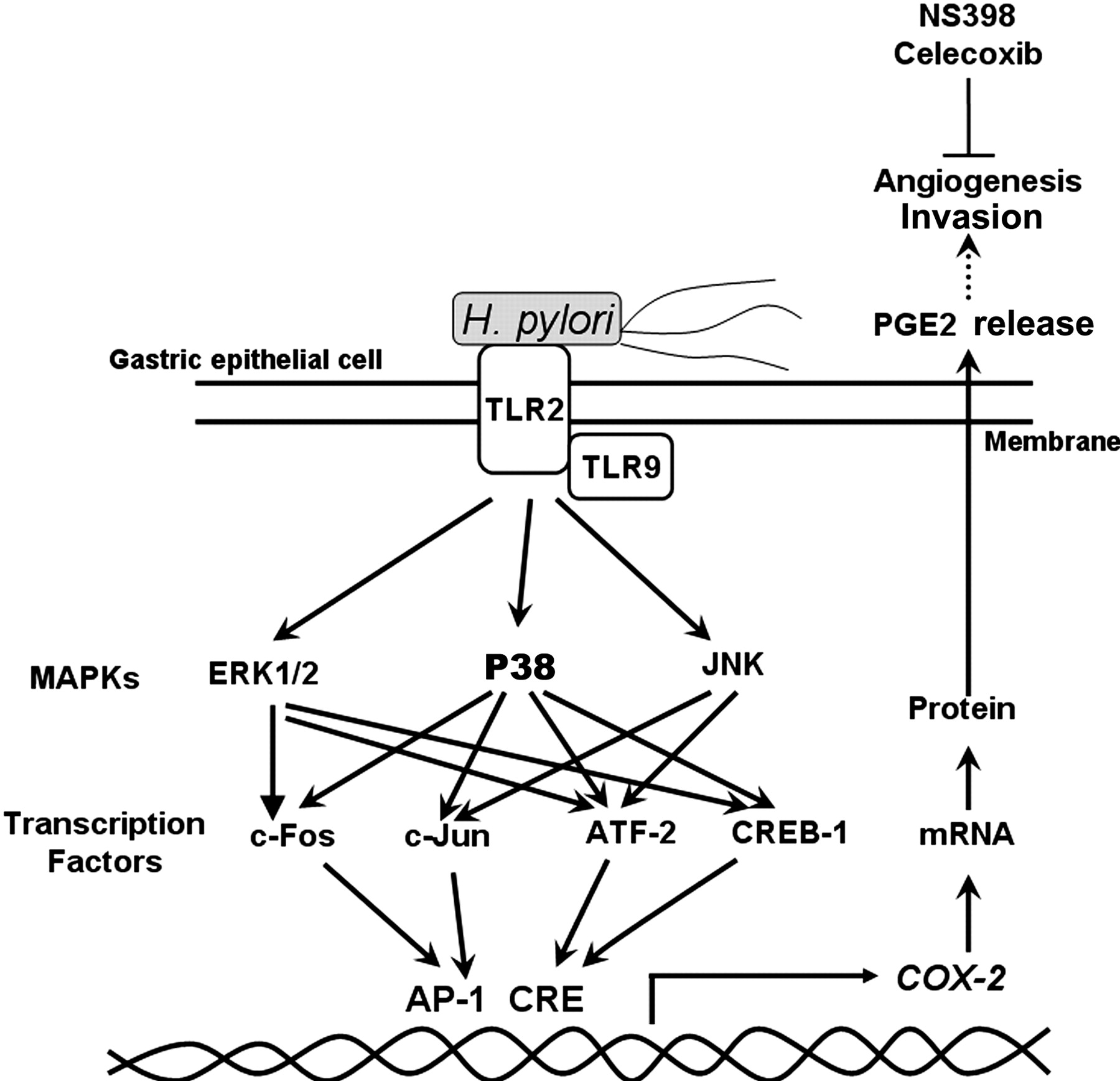Helicobacter Pylori Induced Invasion And Angiogenesis Of