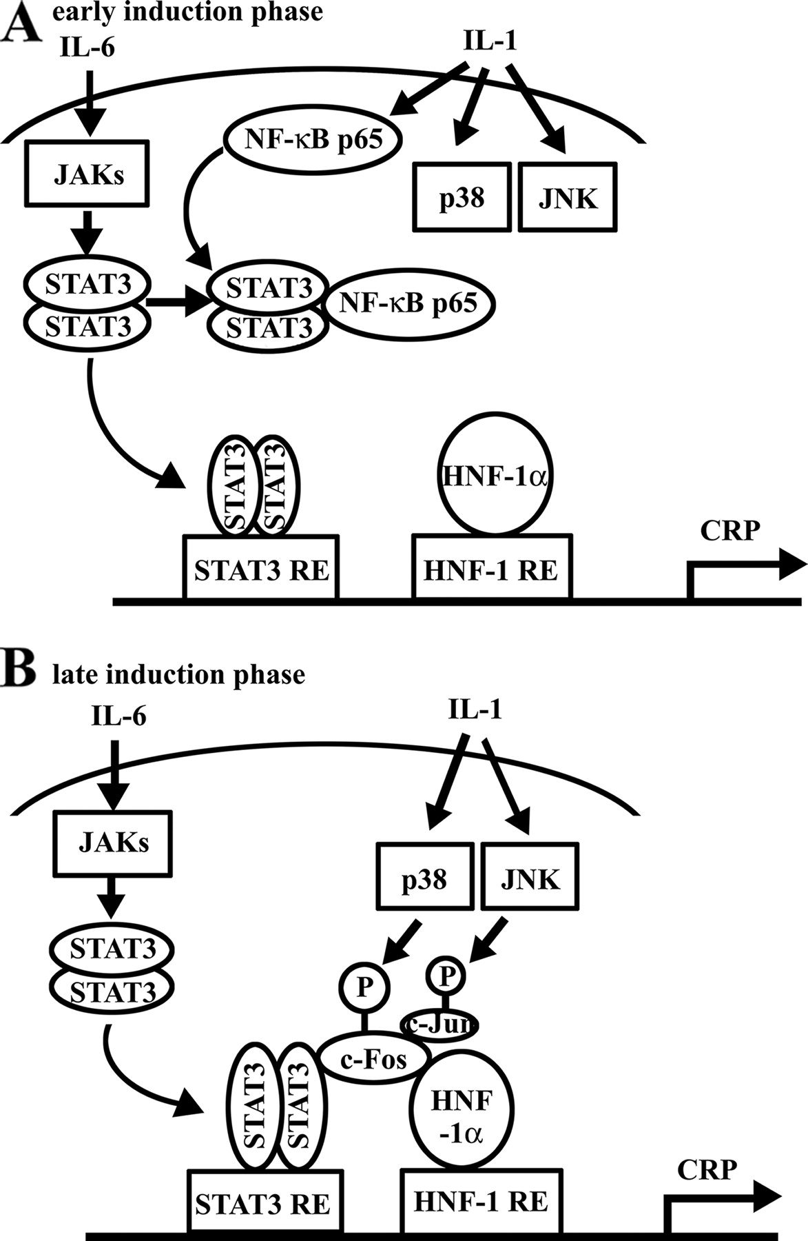 Transcriptional Complex Formation of c-Fos, STAT3, and