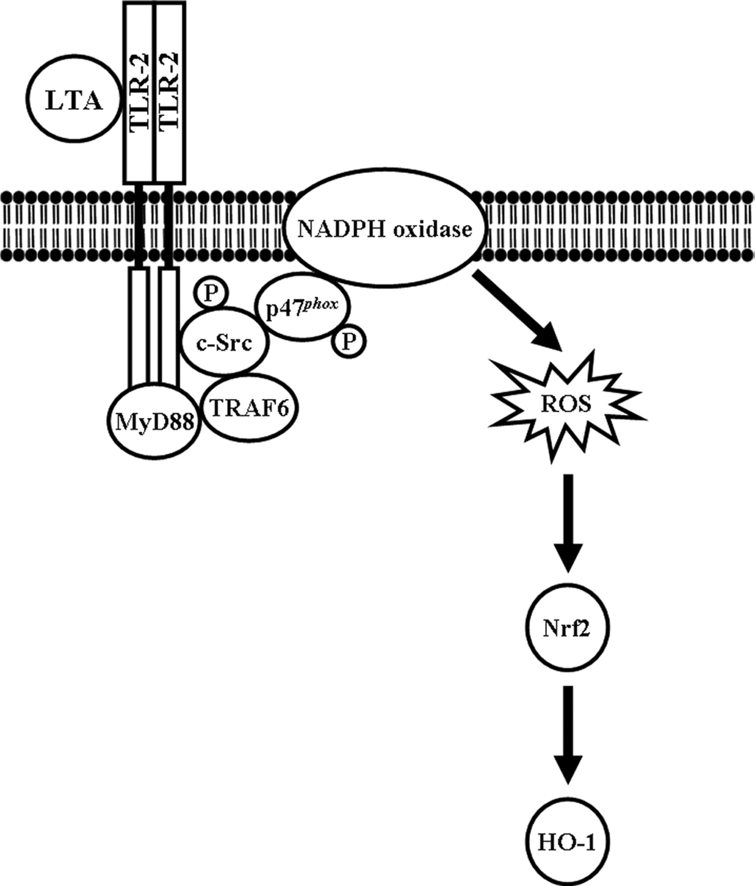 Lipoteichoic Acid Induces Ho 1 Expression Via The Tlr2