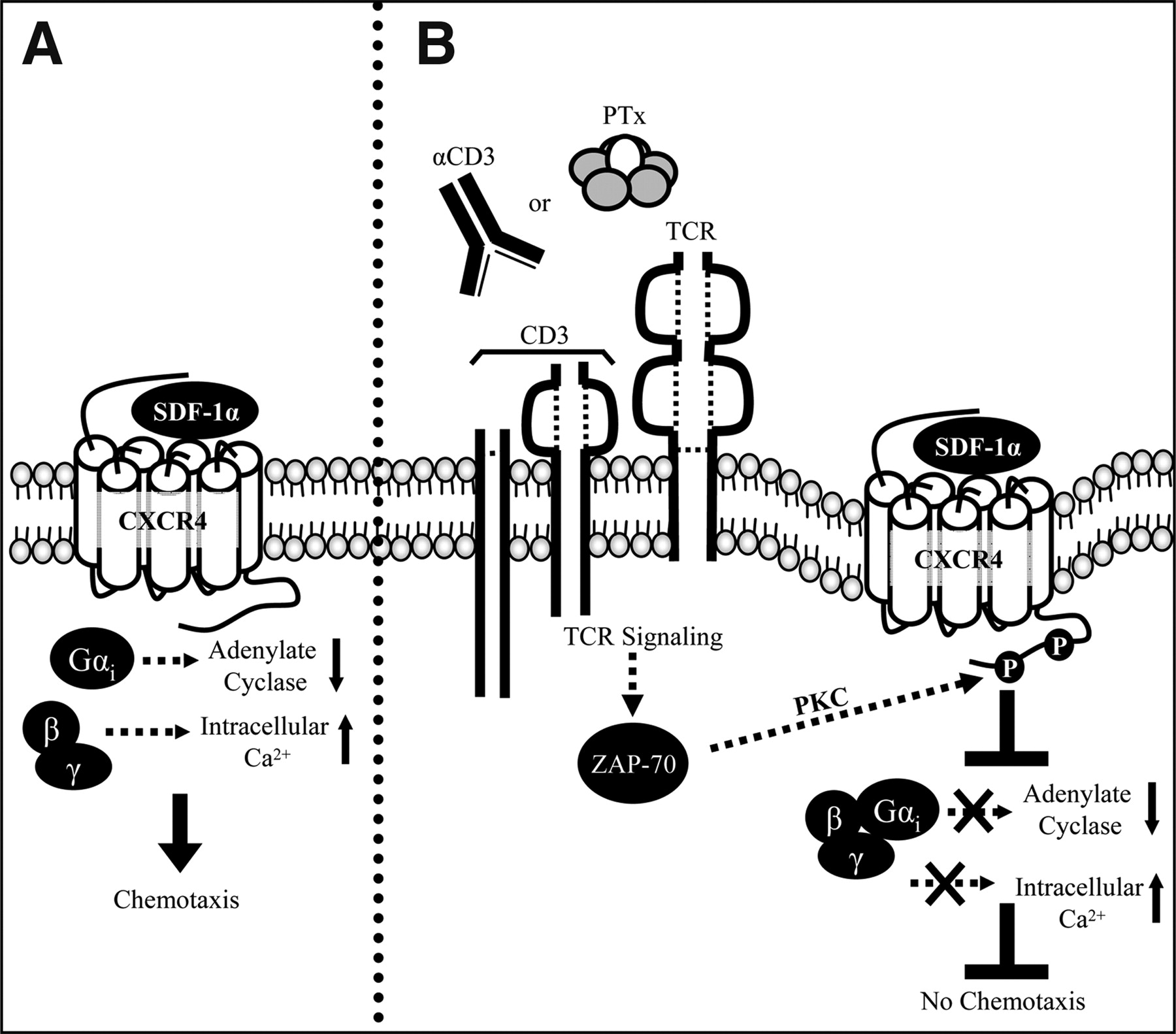 Pertussis Toxin Signals through the TCR to Initiate Cross