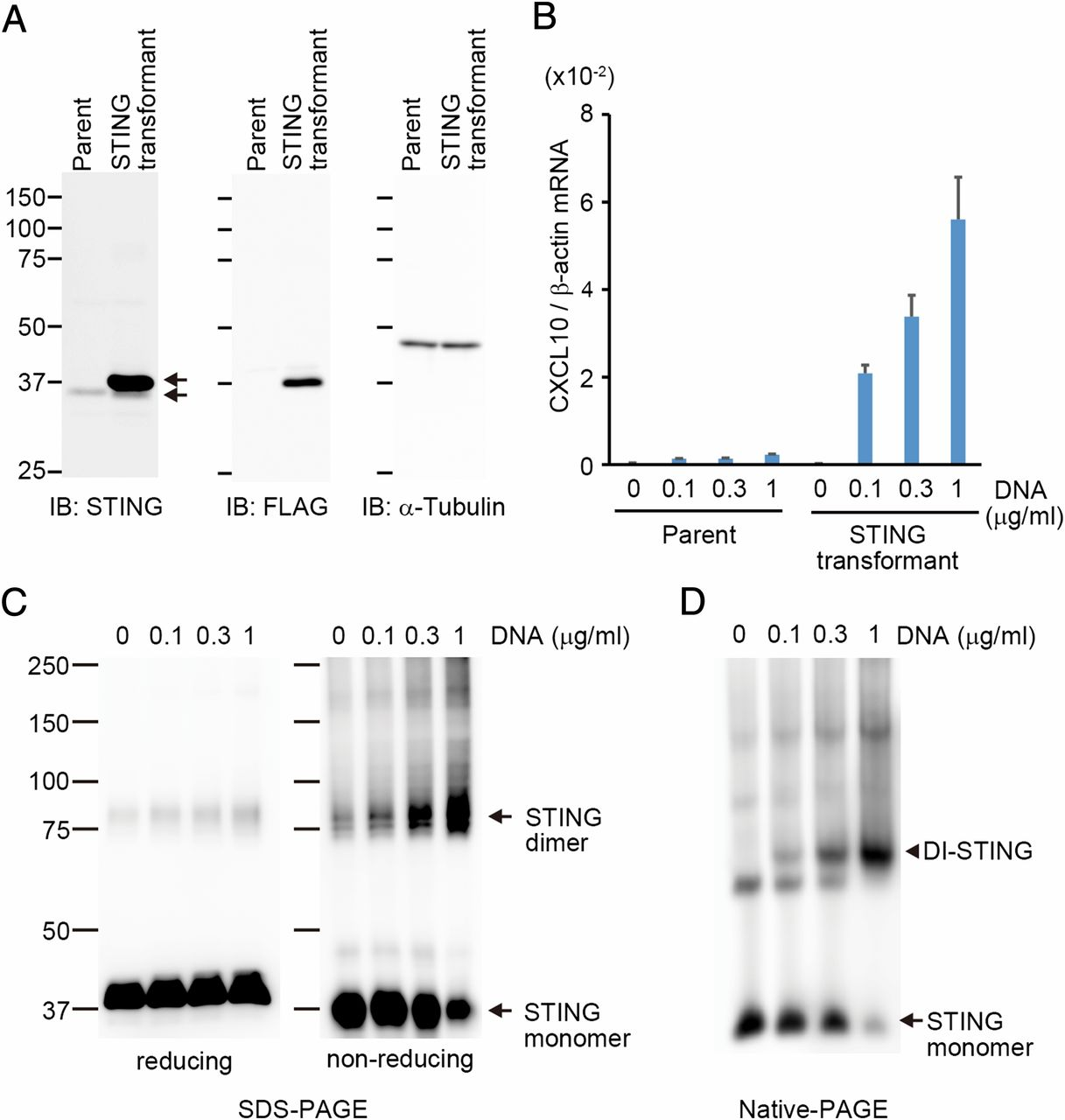 DNA-Mediated Cyclic GMP–AMP Synthase–Dependent and