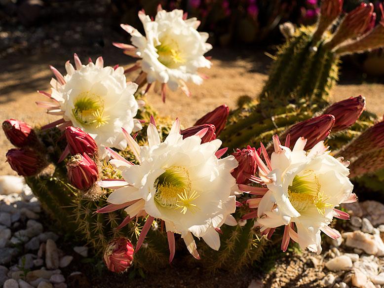 White Argentine Cactus Blossoms