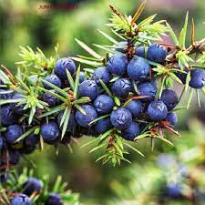 Juniper Berry ESSINTIAL ESSITIONAL OIL