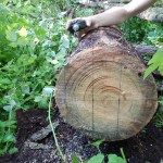 Naměření kmenu padlého stromu na stavební materiál.
