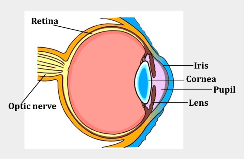 Eye Anatomy Diagram Unlabeled