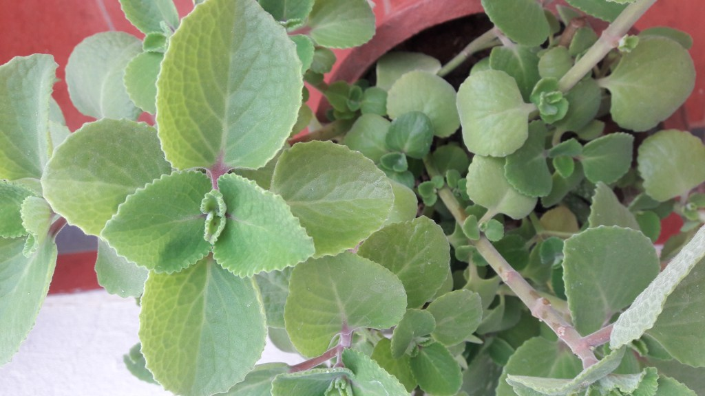 Baby foodz- Benefits of Karpooravalli Kashayam