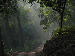 Dense forest in Corbett National park - Uttarakhand - India