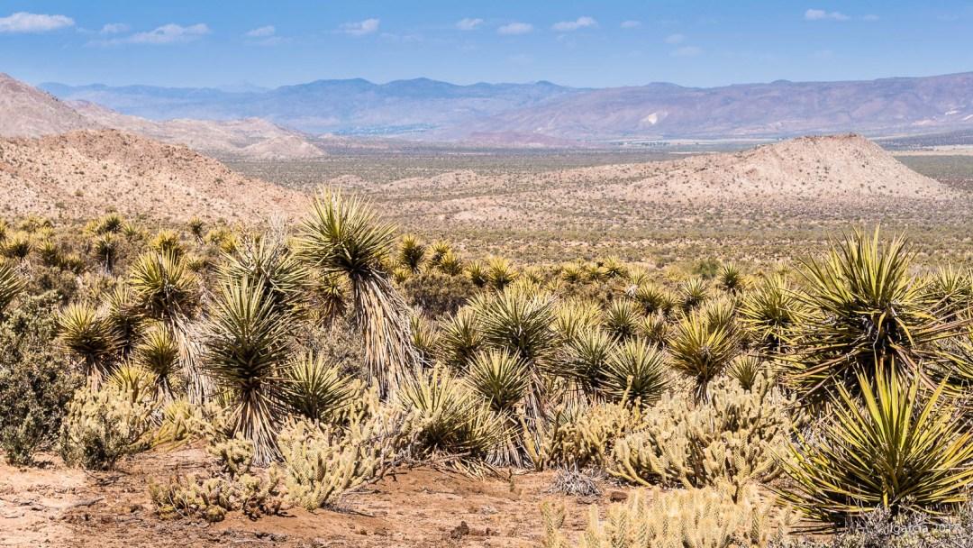 Yuca schidigera en el valle de la trinidad