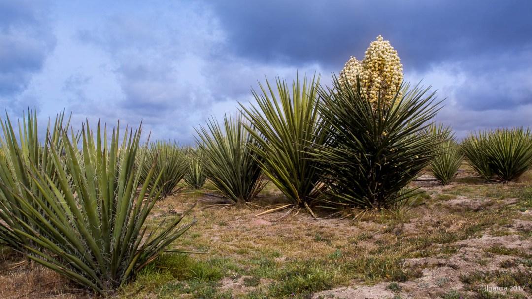 Yuuca shcidigera floreada en la plantación